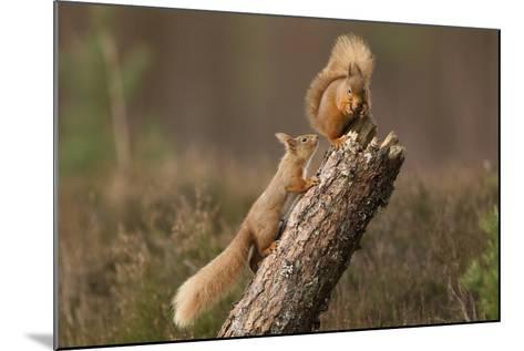 Red Squirrel (Sciurus Vulgaris) Approaching Another as it Eats a Nut, Cairngorms Np, Scotland-Peter Cairns-Mounted Photographic Print