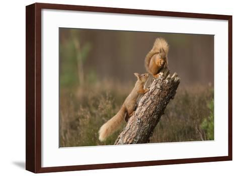 Red Squirrel (Sciurus Vulgaris) Approaching Another as it Eats a Nut, Cairngorms Np, Scotland-Peter Cairns-Framed Art Print