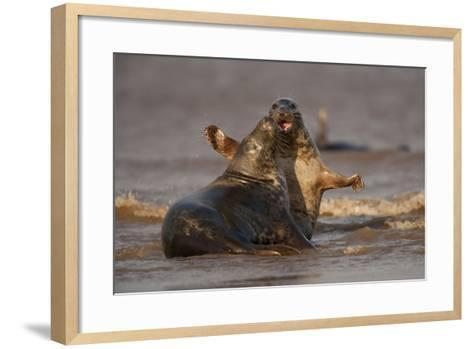 Grey Seals (Halichoerus Grypus) Fighting, Donna Nook, Lincolnshire, England, UK, October-Danny Green-Framed Art Print