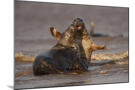 Grey Seals (Halichoerus Grypus) Fighting, Donna Nook, Lincolnshire, England, UK, October-Danny Green-Mounted Photographic Print