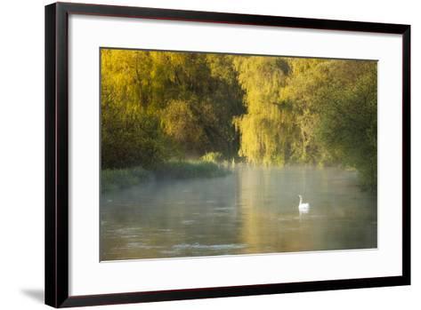 Mute Swan (Cygnus Olor) on the River Itchen at Dawn, Ovington, Hampshire, England, UK, May-Guy Edwardes-Framed Art Print