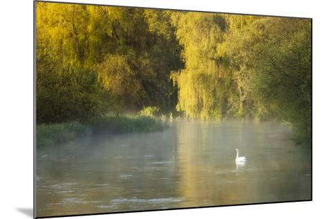 Mute Swan (Cygnus Olor) on the River Itchen at Dawn, Ovington, Hampshire, England, UK, May-Guy Edwardes-Mounted Photographic Print