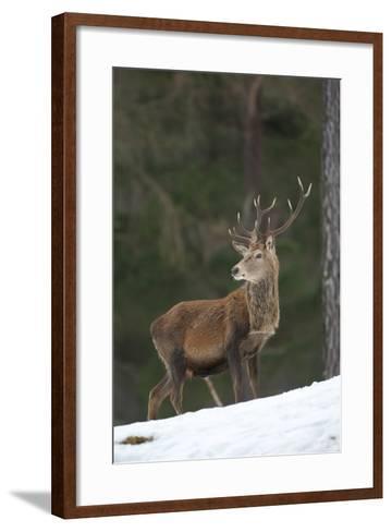 Red Deer (Cervus Elaphus) Stag in Pine Woodland in Winter, Cairngorms National Park, Scotland, UK-Mark Hamblin-Framed Art Print