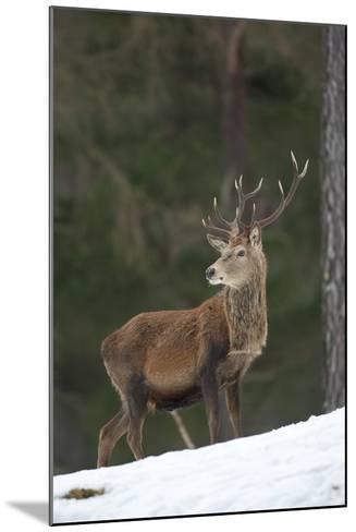 Red Deer (Cervus Elaphus) Stag in Pine Woodland in Winter, Cairngorms National Park, Scotland, UK-Mark Hamblin-Mounted Photographic Print