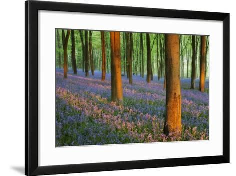 Carpet of Bluebells (Endymion Nonscriptus) in Beech (Fagus Sylvatica) Woodland at Dawn, UK-Guy Edwardes-Framed Art Print