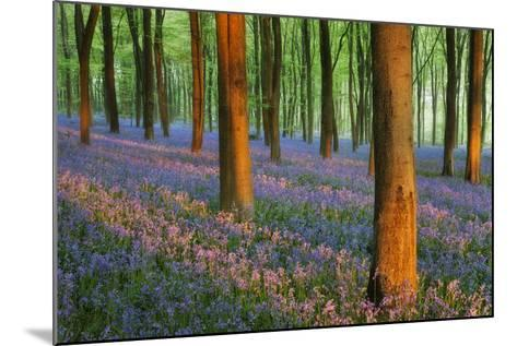 Carpet of Bluebells (Endymion Nonscriptus) in Beech (Fagus Sylvatica) Woodland at Dawn, UK-Guy Edwardes-Mounted Photographic Print