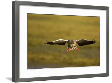 Greylag Goose (Anser Anser) in Flight, Caerlaverock Wwt, Scotland, Solway, UK, January-Danny Green-Framed Art Print