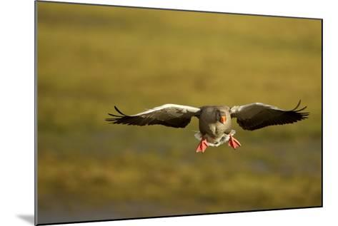 Greylag Goose (Anser Anser) in Flight, Caerlaverock Wwt, Scotland, Solway, UK, January-Danny Green-Mounted Photographic Print