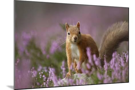 Red Squirrel (Sciurus Vulgaris) in Flowering Heather. Inshriach Forest, Scotland, UK, September-Pete Cairns-Mounted Photographic Print