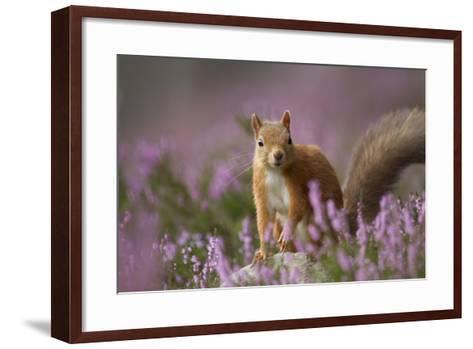 Red Squirrel (Sciurus Vulgaris) in Flowering Heather. Inshriach Forest, Scotland, UK, September-Pete Cairns-Framed Art Print