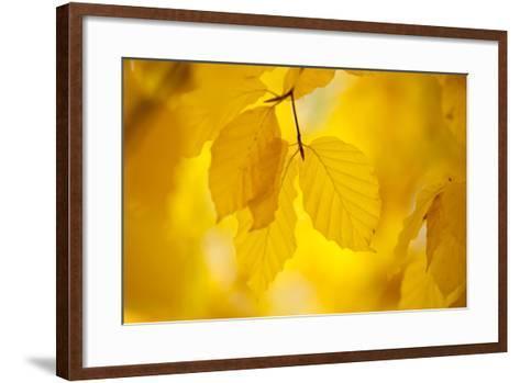 European Beech Tree {Fagus Sylvatica} Yellow Leaves in Autumn, Sence Valley, Leicestershire, UK-Ross Hoddinott-Framed Art Print