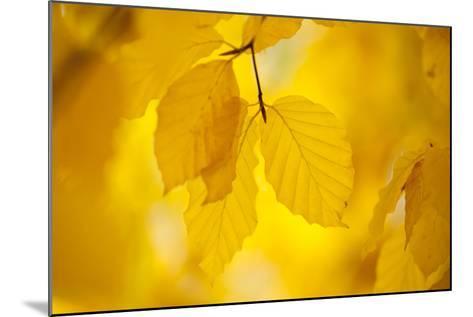 European Beech Tree {Fagus Sylvatica} Yellow Leaves in Autumn, Sence Valley, Leicestershire, UK-Ross Hoddinott-Mounted Photographic Print