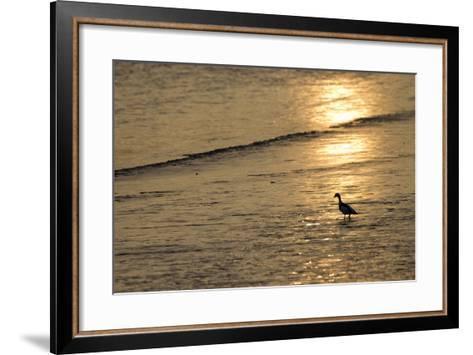 Sunrise over Coastal Mudflats with Shelduck Feeding, Campfield Marsh, Solway Firth, Cumbria, UK-Peter Cairns-Framed Art Print