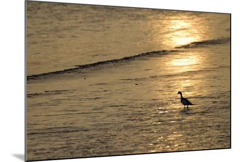 Sunrise over Coastal Mudflats with Shelduck Feeding, Campfield Marsh, Solway Firth, Cumbria, UK-Peter Cairns-Mounted Photographic Print