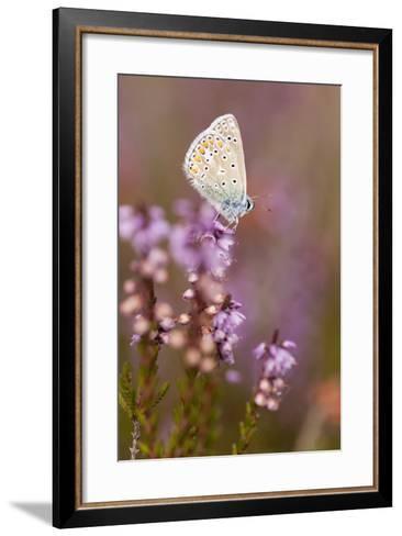 Common Blue Butterfly (Polyommatus Icarus), Resting on Flowering Heather, Dorset, England, UK-Ross Hoddinott-Framed Art Print