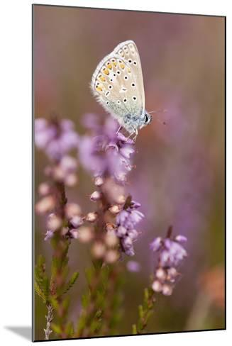 Common Blue Butterfly (Polyommatus Icarus), Resting on Flowering Heather, Dorset, England, UK-Ross Hoddinott-Mounted Photographic Print