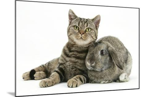 British Shorthair Brown Spotted Cat, Tiger Lily, with Agouti Lop Rabbit-Mark Taylor-Mounted Photographic Print