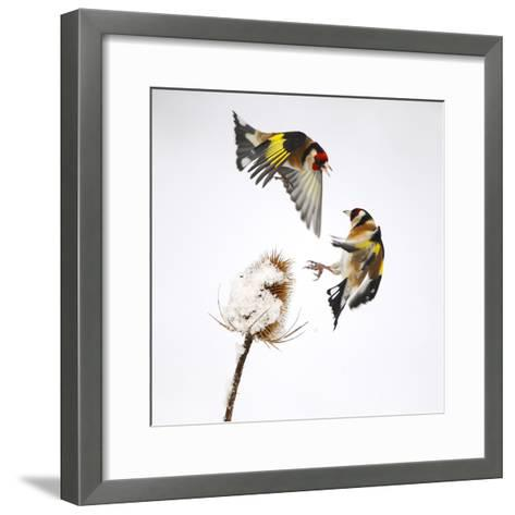 Goldfinches (Carduelis Carduelis) Squabbling over Teasel Seeds in Winter. Cambridgeshire, UK-Mark Hamblin-Framed Art Print