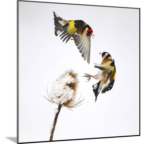 Goldfinches (Carduelis Carduelis) Squabbling over Teasel Seeds in Winter. Cambridgeshire, UK-Mark Hamblin-Mounted Photographic Print