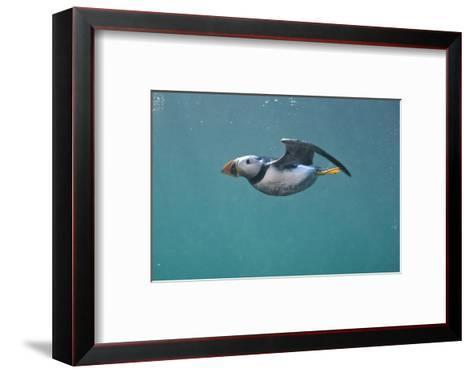 Puffin (Fratercula Arctica) Swimming Underwater, Farne Islands, Northumberland, UK, July-Alex Mustard-Framed Art Print