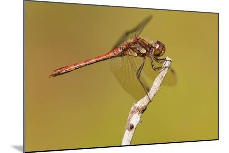 Male Common Darter Dragonfly (Sympetrum Striolatum) Resting on the End of a Twig, Dorset,Uk-Ross Hoddinott-Mounted Photographic Print