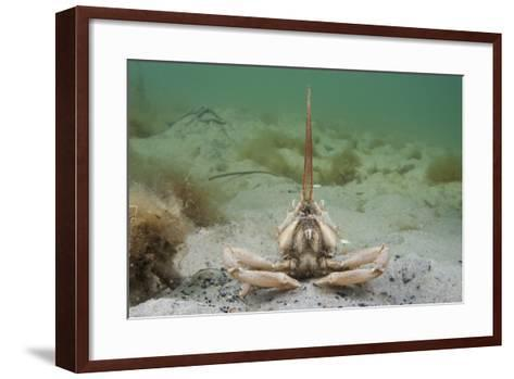 Masked Crab (Corystes Cassivelaunus) on Sandy Seabed, Studland Bay, Dorset, UK, May-Alex Mustard-Framed Art Print