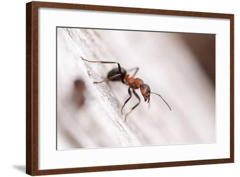 Wood Ant (Formica Rufa) Arne Rspb Reserve, Dorset, England, UK, July. 2020Vision Book Plate-Ross Hoddinott-Framed Art Print