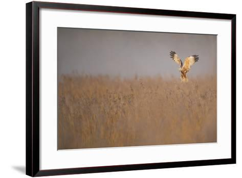 Marsh Harrier (Circus Aeruginosus) Adult Male in Flight Hunting over Reedbed at Dawn, Norfolk, UK-Andrew Parkinson-Framed Art Print