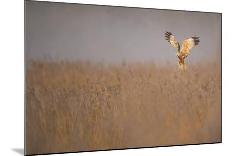 Marsh Harrier (Circus Aeruginosus) Adult Male in Flight Hunting over Reedbed at Dawn, Norfolk, UK-Andrew Parkinson-Mounted Photographic Print