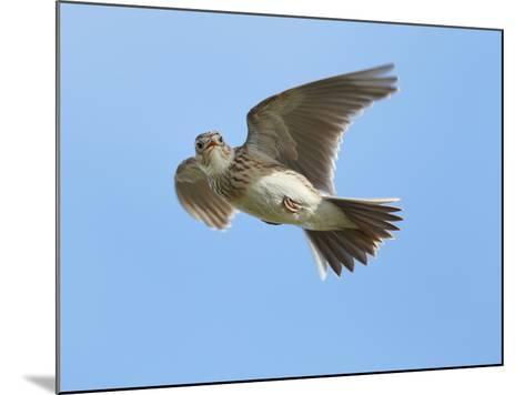 Male Skylark (Alauda Arvensis) in Flight, Singing, Denmark Farm, Lampeter, Ceredigion, Wales, UK-Richard Steel-Mounted Photographic Print
