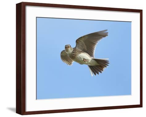 Male Skylark (Alauda Arvensis) in Flight, Singing, Denmark Farm, Lampeter, Ceredigion, Wales, UK-Richard Steel-Framed Art Print