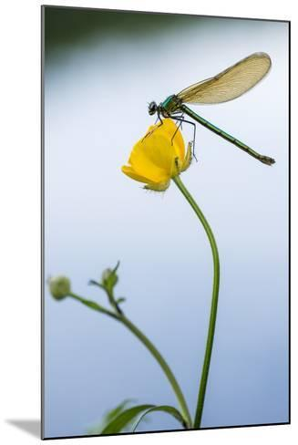 Bannded Demoiselle Resting on Buttercup, Lower Tamar Lakes, Cornwall - Devon Border, UK. May-Ross Hoddinott-Mounted Photographic Print