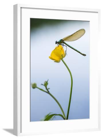 Bannded Demoiselle Resting on Buttercup, Lower Tamar Lakes, Cornwall - Devon Border, UK. May-Ross Hoddinott-Framed Art Print