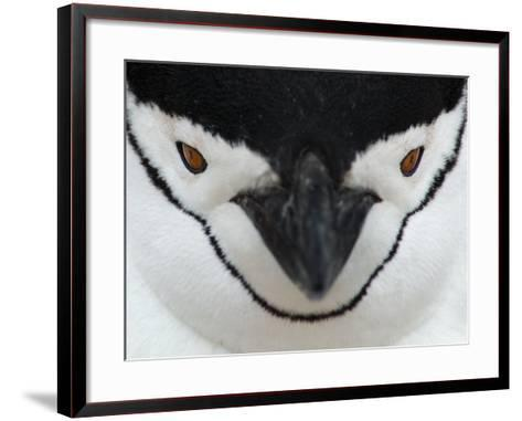 Chinstrap Penguin Face Portrait, Antarctica-Edwin Giesbers-Framed Art Print