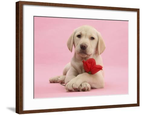 Yellow Labrador Retriever Bitch Puppy, 10 Weeks, with a Red Rose-Mark Taylor-Framed Art Print