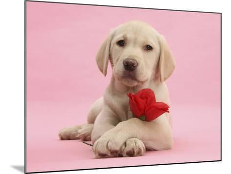 Yellow Labrador Retriever Bitch Puppy, 10 Weeks, with a Red Rose-Mark Taylor-Mounted Photographic Print