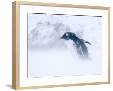 Gentoo Penguin Walking Through Snow Storm, Antarctica-Edwin Giesbers-Framed Art Print