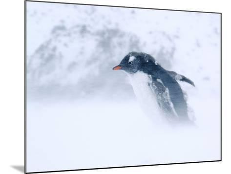 Gentoo Penguin Walking Through Snow Storm, Antarctica-Edwin Giesbers-Mounted Photographic Print