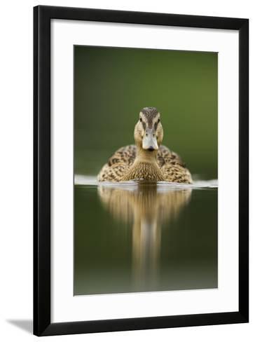 A Sub-Adult Female Mallard (Anas Platyrhynchos) Swimming on a Still Lake, Derbyshire, England-Andrew Parkinson-Framed Art Print