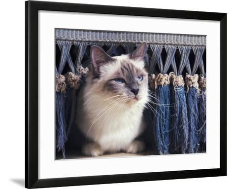 Birman Cat Amongst Tassles under Furniture-Adriano Bacchella-Framed Art Print