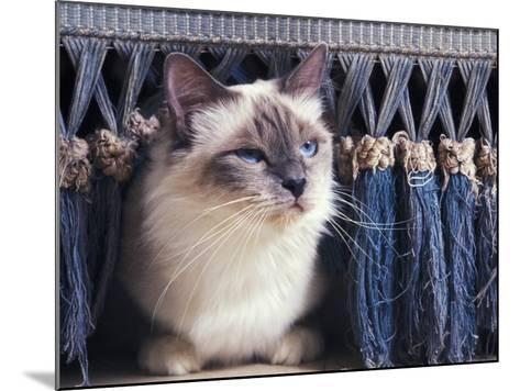 Birman Cat Amongst Tassles under Furniture-Adriano Bacchella-Mounted Photographic Print