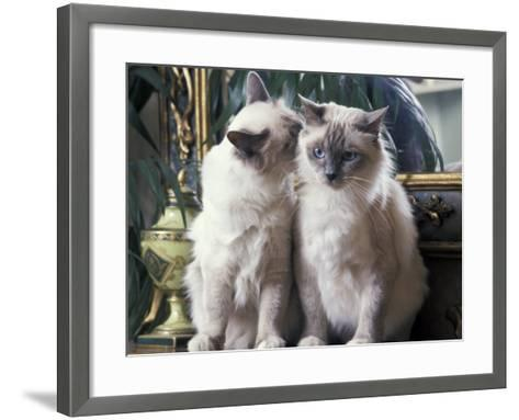 Two Birman Cats Sitting on Furniture, Interacting-Adriano Bacchella-Framed Art Print