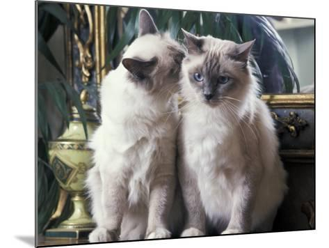 Two Birman Cats Sitting on Furniture, Interacting-Adriano Bacchella-Mounted Photographic Print
