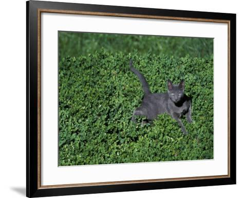 Russian Blue Cat Lying on Plants in a Garden, Italy-Adriano Bacchella-Framed Art Print