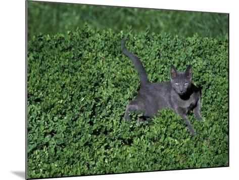 Russian Blue Cat Lying on Plants in a Garden, Italy-Adriano Bacchella-Mounted Photographic Print