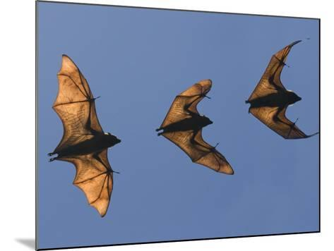Madagascar Fruit Bat Flying Fox Berenty Reserve, Madagascar-Edwin Giesbers-Mounted Photographic Print