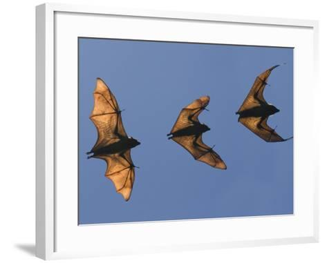 Madagascar Fruit Bat Flying Fox Berenty Reserve, Madagascar-Edwin Giesbers-Framed Art Print