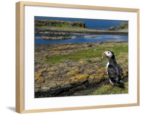Puffin with Beak Full of Sand Eels, Isle of Lunga, Treshnish Isles, Inner Hebrides, Scotland, UK-Andy Sands-Framed Art Print