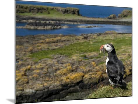 Puffin with Beak Full of Sand Eels, Isle of Lunga, Treshnish Isles, Inner Hebrides, Scotland, UK-Andy Sands-Mounted Photographic Print