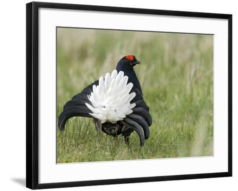 Black Grouse Black Cock Moor Cock Displaying on Lek, Upper Teesdale, Co Durham, UK-Andy Sands-Framed Art Print